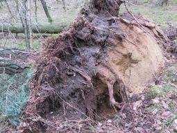Storm geluwd..., boom met kracht uit de grond.Foto Pl@ntster