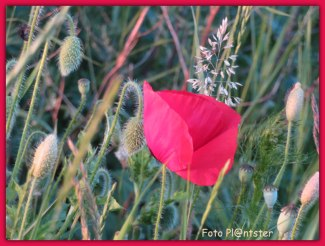 In het hoge bermgras stak het rood/roze van de klaprozen opvallend mooi af.