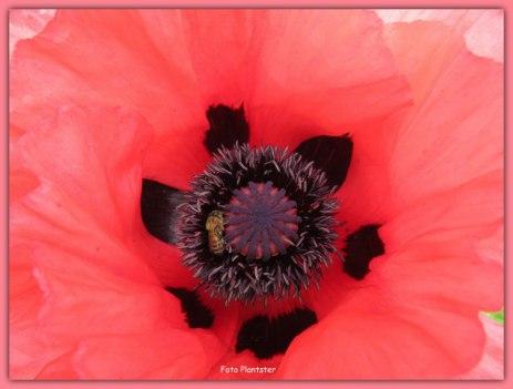 De klaproos heeft geen nectarklieren, maar levert hoogwaardig stuifmeel voor bijvoorbeeld de honingbij.