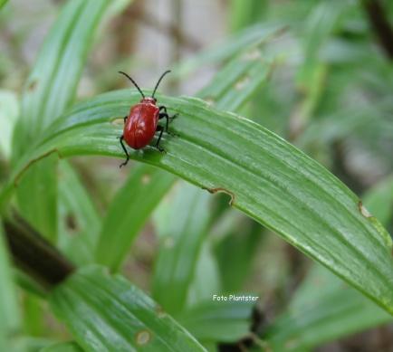 Rode leliehaantje is schadelijk voor de lelie.Je zou kunnen proberen om dit rode kevertje in een potje/glas op te vangen, met onder het blad houden waarop de kever zit.Als de kever zich niet op zijn gemak voelt dan laat hij zich met wat geluk..., daarin vallen .Groet Plantster