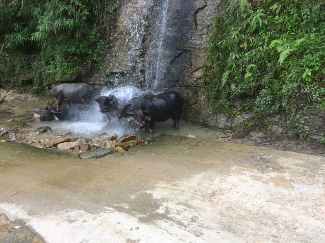 Waterbuffels in Vietnam.png