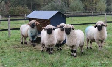 Familie zwarte neus schaap