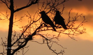 Twee kraaien met hun silhouet,een ervan op de zonsondergang let