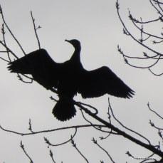Een aalschover liet zich drogen door 't zonnetje ,hoog in een boom .., in de buurt van water