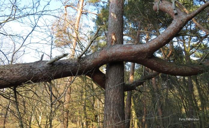 Een omgevallen boom leunt op een andere boom die hem tegengehouden heeft .Met een flinke smak zo is blijven hangen
