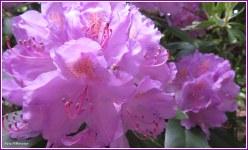 Rododendron streelt het inmago van de lente met hun bloei