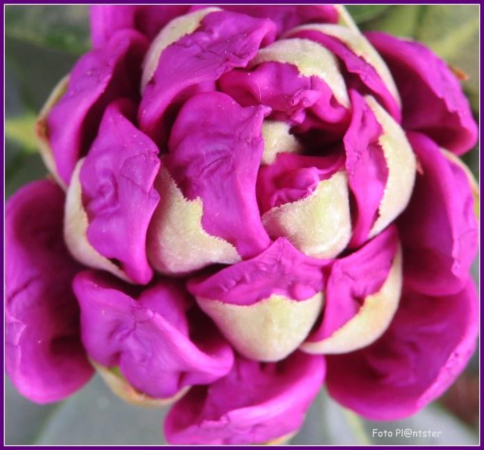 Rododendron aan het begin van de volledigheid van bloem