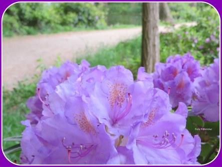 Rododendrons zijn een lust voor het oog