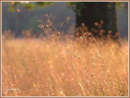 Grassen in goudkleur
