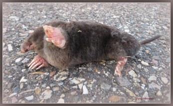 Op het pad lag een mol..., gemolesteerd..., 't lag erbij als prooi