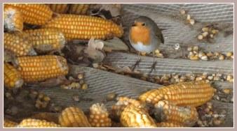 Zoekplaatje met kleur ..., tussen maiskolven gestaan.