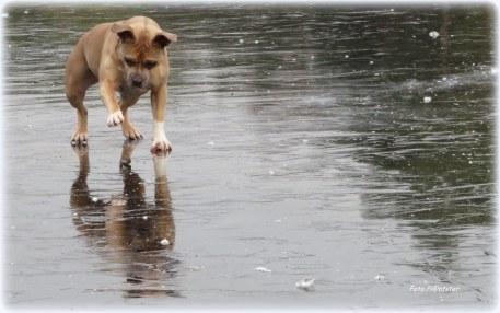 Een hond deed spelenderwijze 'n nieuwe ontdekking... zij kon over 'water' lopen