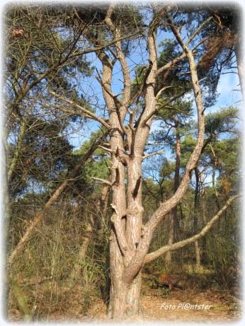 Het is hoe het zonnetje erop schijnt.... hoe je er tegen aan kijkt>Een opvallende boom met twee stammen als vertakkingen