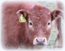 De kleintjes liepen gemoedereerd erbij ...bij moeder koe in de wei