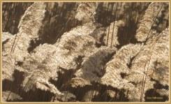 Een beweging door de wind laat rietpluimen met een buiging wuiven