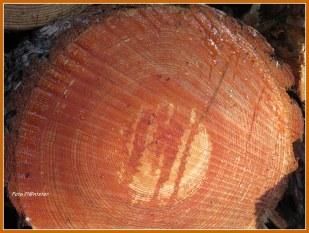 Op een rij gelegd..., met niet erop klimmen als waarschuwing.Als ik naar deze houtstammen kijk,liggen zij te huilen.Er zit nog leven in...,'t hout bloedt dood 't Wegkappen van vele bomen.De een is er voor en de ander is ertegen. Gaat er niet teveel aan bos verloren?Hoe sta jij er tegenover?