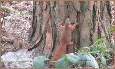 Het eekhoorntje wilde in een boom klimmen .'t Leek erop..., maar bedacht zich een moment en sprong met snelheid, laag over de grond uit 't zicht.