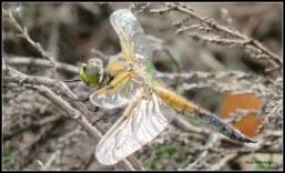 Ken jij de benaming van deze libelle?