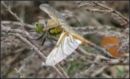 Met het zien van deze libelle ..., behalve de glans van haar vleugels gaf 't ook 'n mooie glans aan deze middag