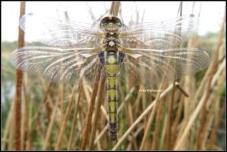 Geheel onverwachts ... gisteren op 30-4-2019 .Op een rustig tijdstip in de namiddag zag ik deze libelle.Zij hield zich vast aan de rietstengel.Hoe deze libelle genoemd wordt weet ik niet.Herken of weet jij deze libelle van naam?