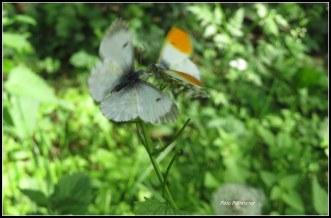Twee vlinders .., een mannetje en vrouwtje .Helaas is deze foto wat onduidelijk..., maar 't mag de pret niet drukken