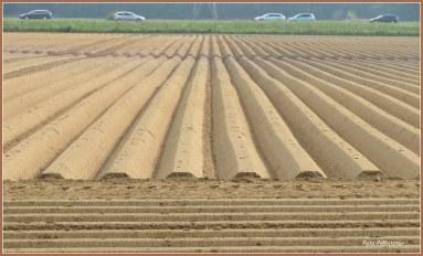 Met veel fantasie kan je deze foto beschrijven.Alsof potloden in de rij gelegen naat elkaar ... om straks het aardappelveld in te kleuren met het groene loof en witte bloemetjes.Of te doen denken aan een soort van golfplaten..., als golvend aanblik.Hoe deze foto ingevuld is..., het is 'n bepaald moment met ook 'n optisch gezichtsveld .Met op de achtergrond de auto's af en aan als druk en hier bij dit veld landelijke rust waar je even in je zelf keert .Terwijl je naar de aardappel ruggen kijkt, hoe verrassend de natuur is waar je aandacht naar uitgaat