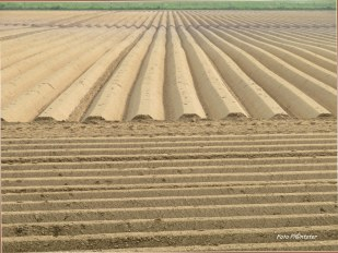 Vanuit de berm gezien ...in de verte een aardappelveld.Met 'n groot aantal aan horizontale en verticale lijnen.De boer heeft zijn akker voorbereidt ten gunste voor de groei van aardappelen.