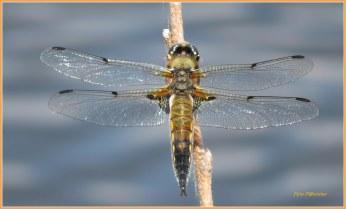 De viervlek Libelle is goed te herkennen aan de vlekken op de vleugels