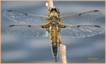 Vandaag heb ik de libellen bij de Vennen waargenomen .... ,mooi om ze bezig te zien.Wat dichterbij gezeten met deze foto van groter formaat.Mooi hé.