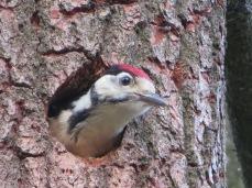 Een close up van jonge specht ...,vanuit zijn veilige plek in boomholte