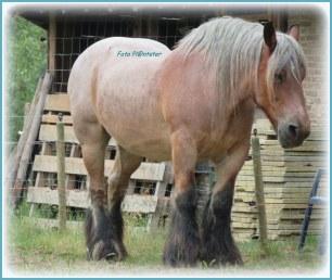 Als ik mij niet erin vergis is dit een Belgisch trekpaard ..., word hier ook Belgisch knol. genoemd in de volksmond .Het Belgisch trekpaard, Brabants trekpaard of Brabander is een paardenras uit België. Het zijn prachtige paarden met veel power.... PK.Met veel kracht verzetten zij vroeger veel werk.... voor de tijd van mechanisatie zich ontwikkelde.