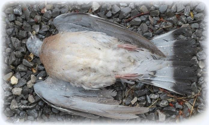 Als duif gevleugeld te neer gevallen, is vredig ingeslapen met vleugels uiteengeslagen