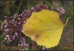 Als verkleurd blad blijven steken ..., vasthoudend aan bloeiende heide