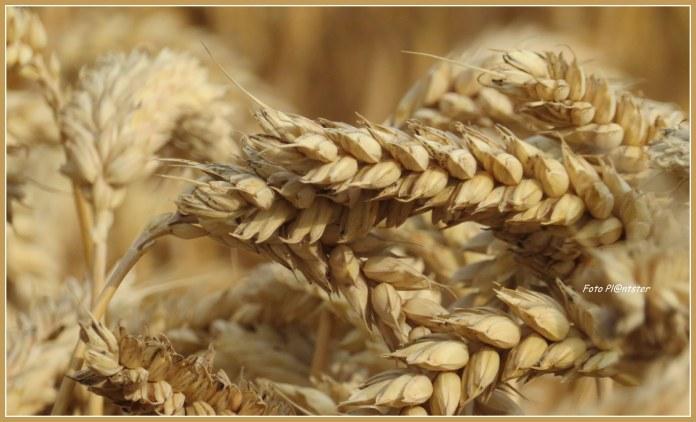 Tarwe is een graansoort met voedingswaarde..., belangrijk voor de mensheid