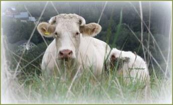 Moederkoe met haar jong.Tussen de grassprieten heb ik deze gefotografeerd.Haar jong staat aan haar zij...., met 't achterlijf op de foto gezien.