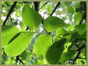 Met een doorzichtigheid aan nerven in het groene blad