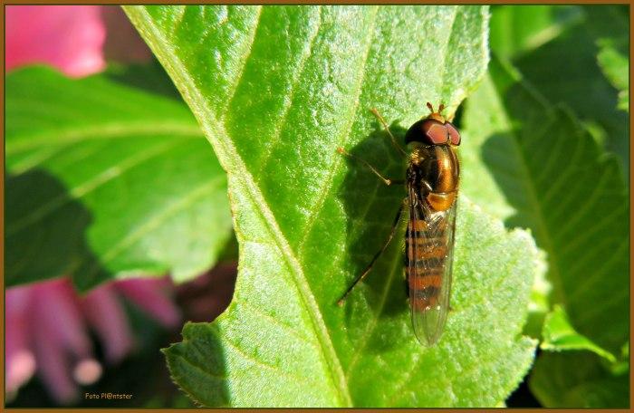 IMG_1242 Insect op dahlia blad.jpg