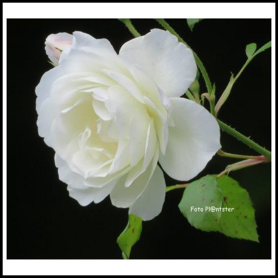 IMG_3246 White Rose