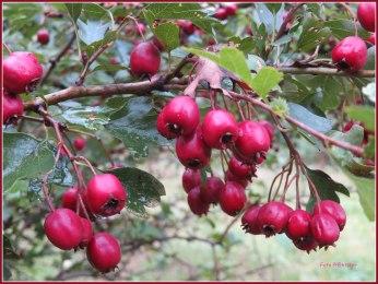 Vanaf september zie je rode bessen aan de meidoornstruiken.