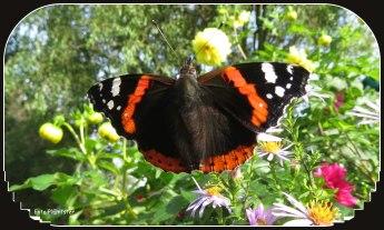 Heel speciaal vandaag om op 13 oktober nog zoveel vlinders gade te slaan.