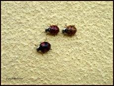 IMG_7808 Lieveheersbeestjes