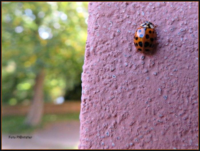 IMG_7821 Lieveheersbeestje