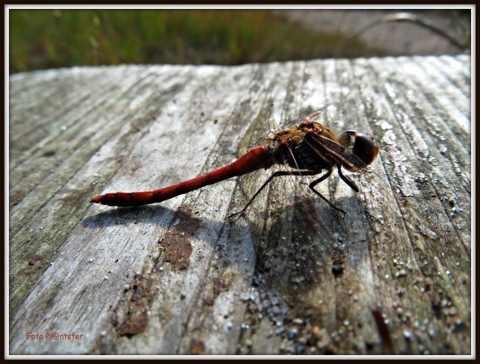 IMG_0272  Libelle rust.jpg