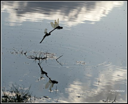 Weerspiegeling libellen