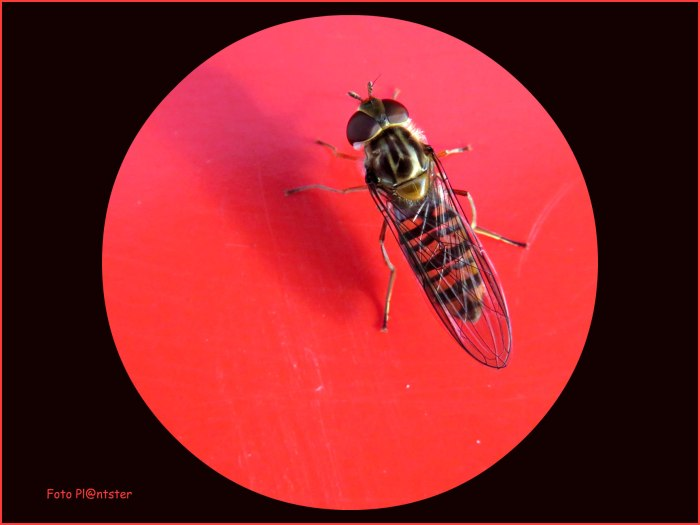 IMG_1980  Insect op paddenstoel.jpg