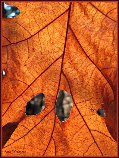 Eikenblad in warme kleur..., als doorschouwend