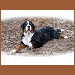 Jonge Berner sennenhond zat vriendelijk afwachtend op de grond,waarbij ik uitliep en even stil stond.