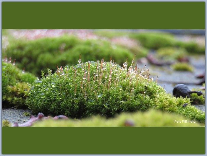 IMG_8089 Waterdruppels aan het mos