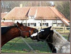 Het viel mij gisteren op toevalligerwijze tussen de struiken op ,dat deze twee paarden elkaar telkens opzochten.Zou het bruine paard 't andere paard het hof willen maken ? Wie weet haha.Ik noemde het voor gemakshalve de 'gloeiende' vijf minuten, dan kreeg dit een naam :) Groet Plantster