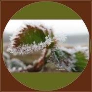 'n Half afgestorven bramenblad, gedeeltelijk nog bruin en zelfs groen waaraan het witte...,de kristalletjes zich nog even vasthielden